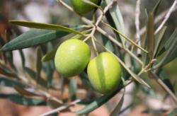 blogg oliv