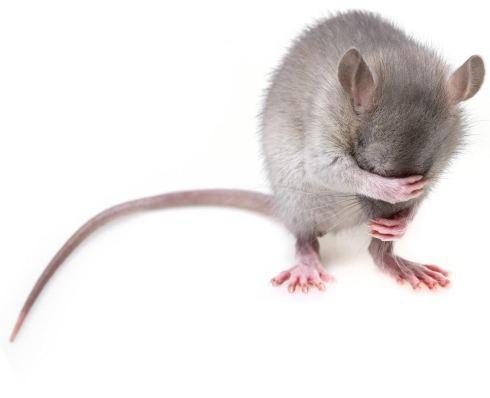 råttis